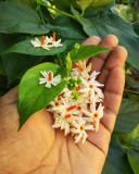 Nyctanthes arbor-tristis - IASOMIE DE NOAPTE DE ARABIA - 5 seminte