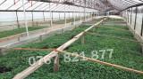 Rasaduri de rosii pentru solar si camp | Rasad legume ardei castraveti
