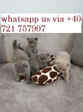 Male and Female British shorthair kittens for adoption, Royal Canin