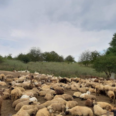 Oii și capre