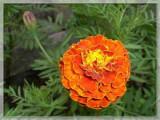 Cumpara ieftin Seminte Craite pitice flori mari portocaliu, 1 gr.