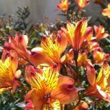 ALSTROEMERIA AURANTIACA amestec culori 5 seminte pt semanat