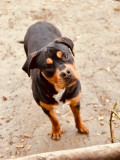 Rottweiler-Amstaff Mascul Superb