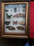 Diorama fluturi exotici - lot 2