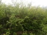 Salcam mic pentru terenuri degradate, perdele forestiere sau gard viu, Plant