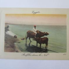 Carte postala necirculata Egipt-Bivoli in Nil circa 1900