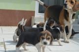 Pui Beagle tricolori.