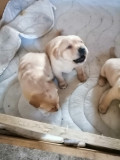 Căței labrador
