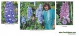 DELPHINIUM AJACIS - flori de gradina - 10 seminte pt semanat