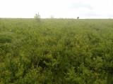 Lemn cainesc pentru gard viu, Plant