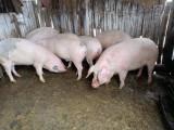 Porci de vânzare BIO + ofer acte pentru transportul carnii !