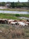 Oi şi capre