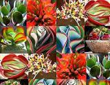 Kalanchoe Mix - 5 plante diferite