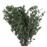 Cumpara ieftin Planta conservata Pittosporum verde 50cm 150gr