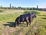 Tauras Angus - Negru - 15 luni
